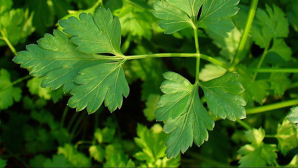 parsley basil bites