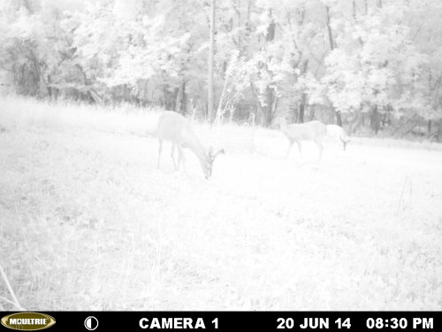 Bucks in mid June