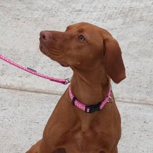 Doggy Chic Cerise Polka Dot Adjustable Collar on Cerise Webbing