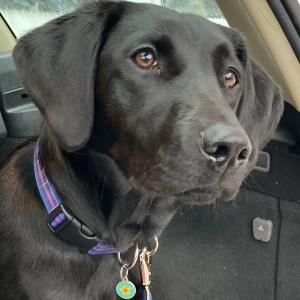 purple tartan dog collar