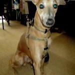 tartan dog collar, lead and harness