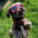 doggy sunglasses