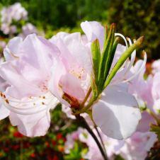Hokkaido_cherry_blossom_sakura_flowers_spring_time