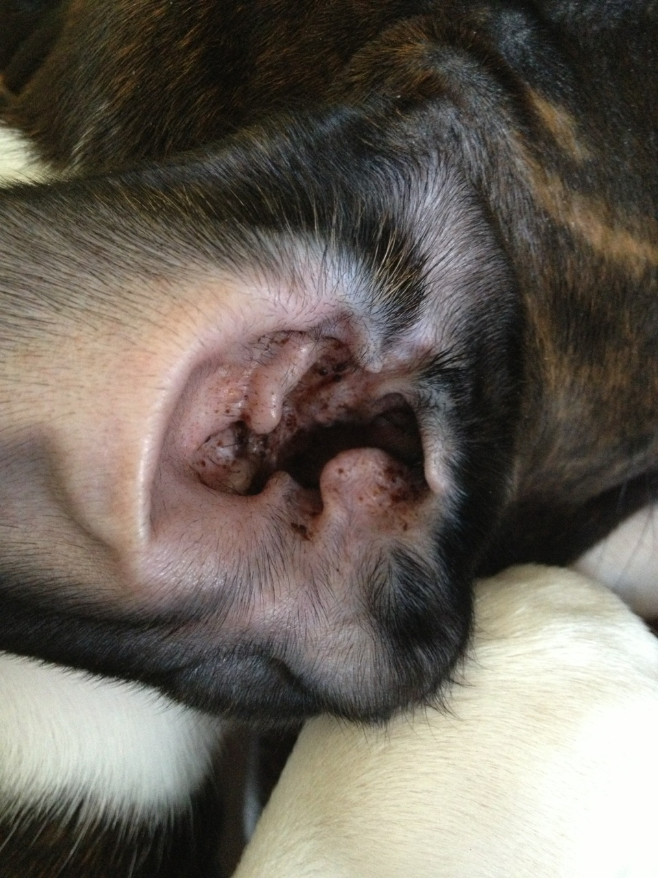 Normal Ear Wax? - Boxer Forum : Boxer Breed Dog Forums