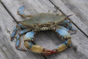 Maryland blue crabs have some great health benefits!