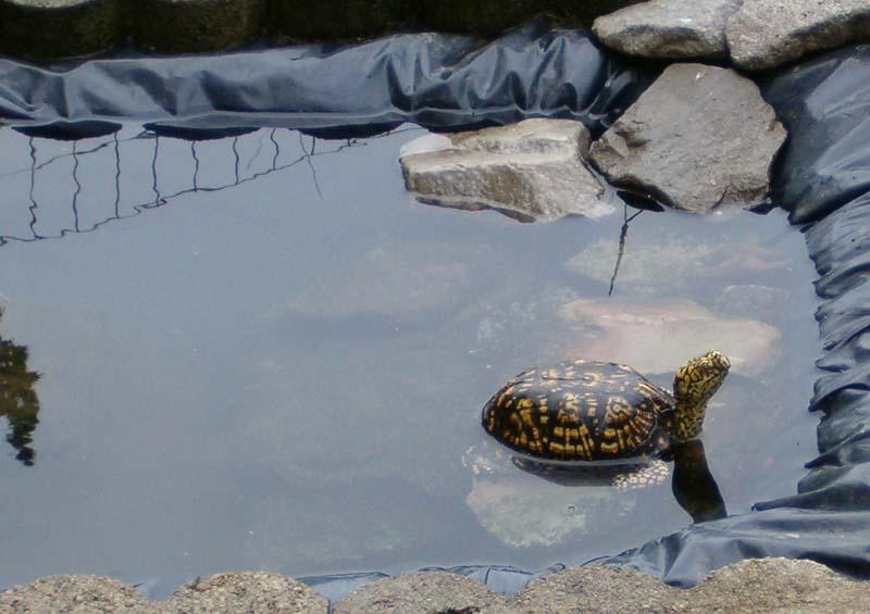 Boxie In Bathtub Pond Box Turtle World