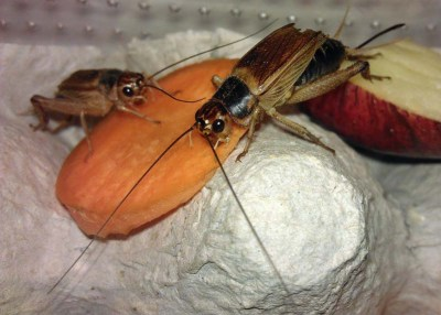 Crickets feeding on carrot. An example of gut-loading.