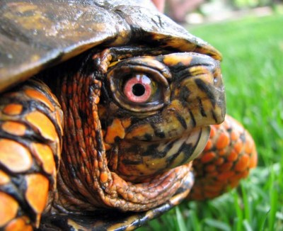 Keep your outdoor turtle pen clean to help keep your boxies healthy
