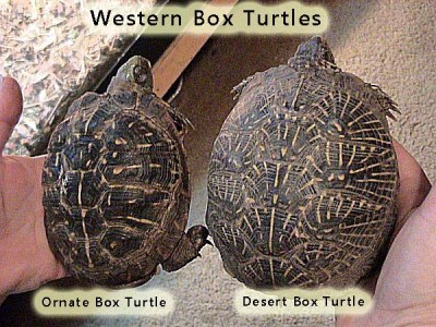 Western Box Turtles, ornate on the left and desert on the right