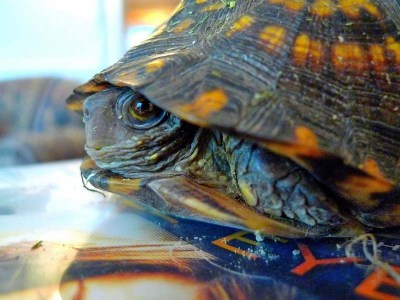Box turtle care isn't that complicated, as long as you know what's normal for your pet.