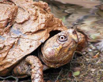 Humidity Needs For Box Turtles Box Turtle World