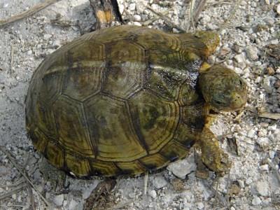 Yucatan Box Turtle, Terrapene carolina yucatana