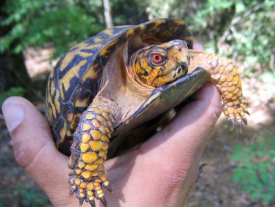 Are Box Turtles Good Pets For Kids Box Turtle World