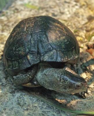 Coahuilan Box Turtle Terrapene Coahuila Box Turtle World