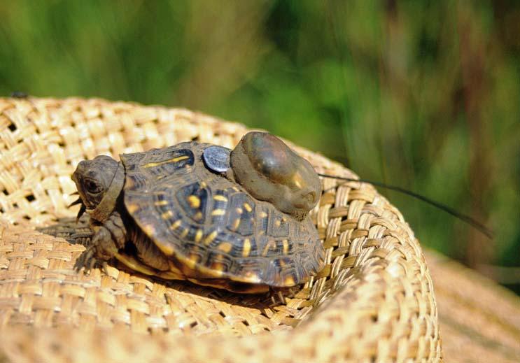 Ornate Box Turtle With Radio Transmitter Box Turtle World