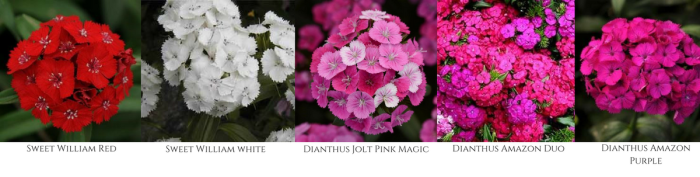 FALL FLOWERS, DIANTHUS