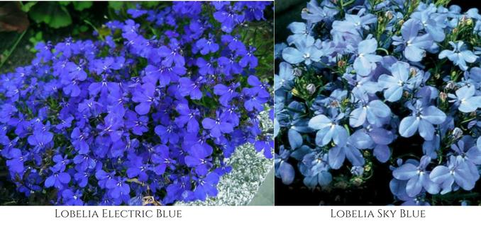 lobelia, fall flowers