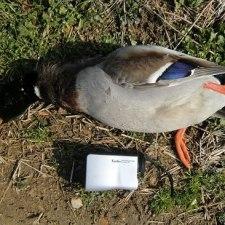ベテランでもない若手猟師が1シーズンで23羽の鴨を獲った方法とは?