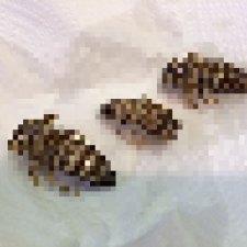 【昆虫食】南米産ゴキブリを食してみた結果。【画像注意】
