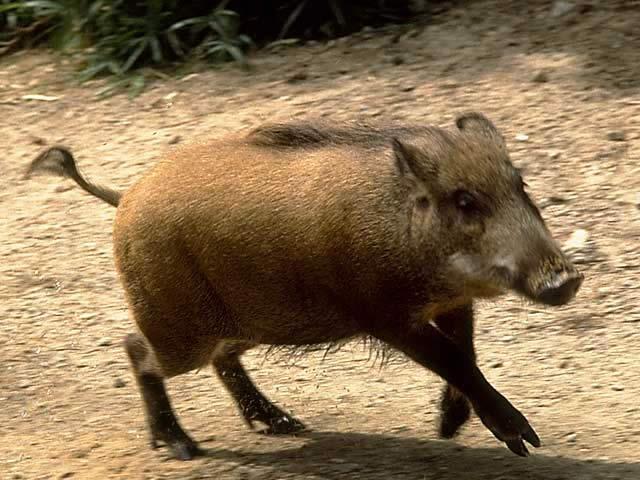 ハンターも気になる豚コレラ。罹患・発症したイノシシの見分け方は?