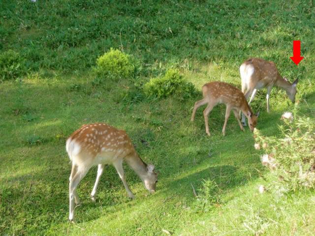 狩猟関連失敗談その8 近距離にシカの群れがいる時は…