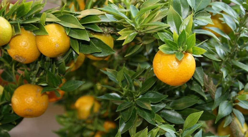 Citrus Trees for Sale