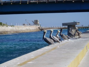 Pelicans patiently waiting for a taste of fish