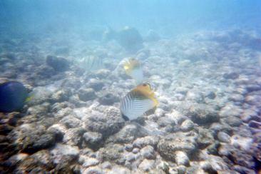 hawaiifish1