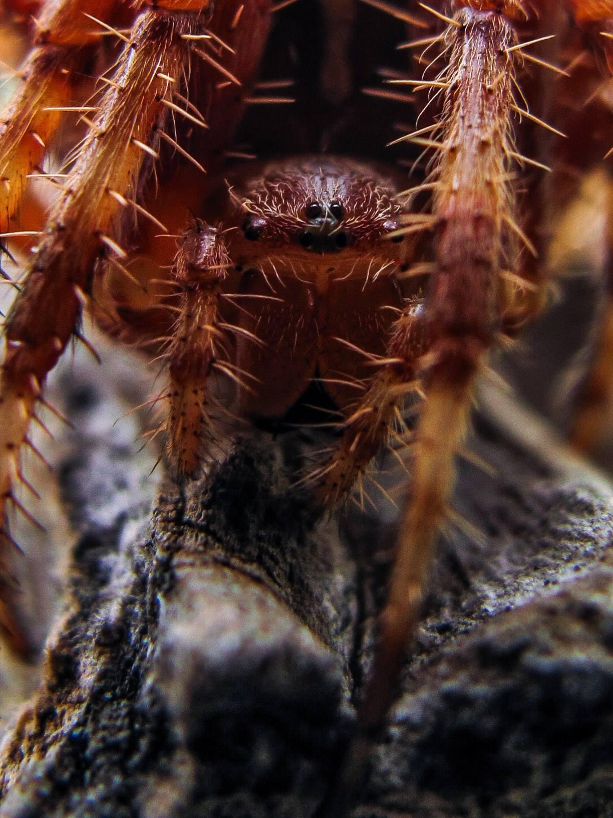 pauk-križar-macro-close-up