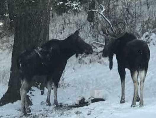 Montana Moose 1