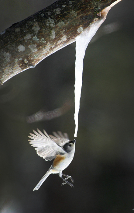 A tufted titmouse drinks dripping sap from a tree that had frozen into an icicle.