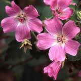Lavatera pink mountain