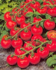 tomates carises