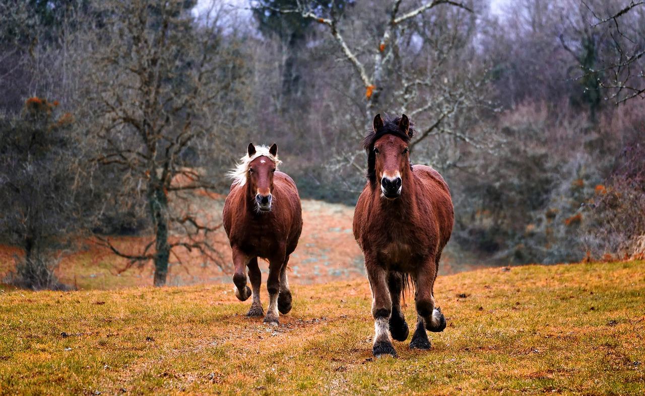 Pyc-rental : transport de chevaux en Belgique et à l'international