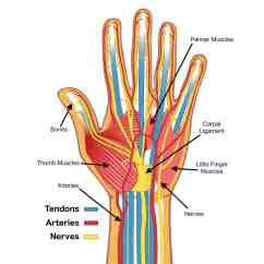 Hand Muscles Diagram Haltech E11v2 Wiring Anatomy Of The Brace Access