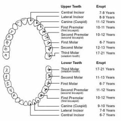 Diagram Of Mouth With Teeth Numbers 1968 Vw Beetle Autostick Wiring Full Tooth Schematics Human Dental Charts Bradford Family Dentistry Rh Bradfordfamilydentist Ca