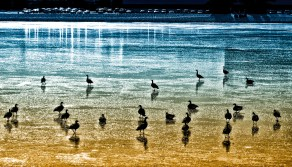 Dec 28: Geese on Ice
