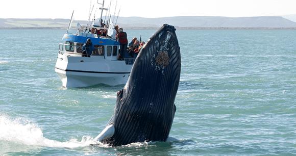 whale watching Husavik, Iceland by Tatonka Shutterstock