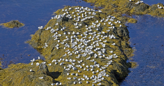 Látrabjarg-is-the-largest-bird-cliff-in-Iceland-©-BMJ-Shutterstock