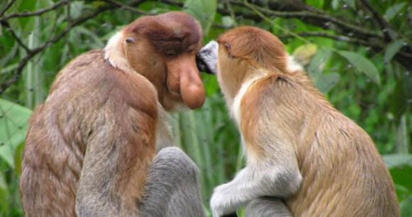 Proboscis monkey by Frank Wouters, Wikimedia Commons