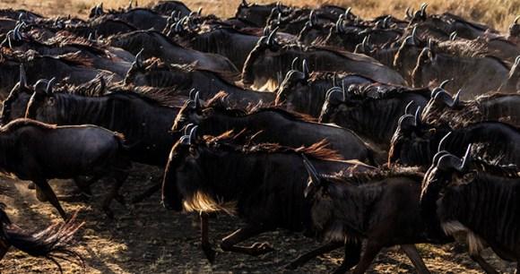 Wildebeest Paradise Plain Kenya by Jonathan and Angela Scott