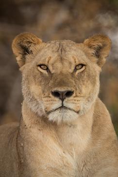 Lion, Chobe National Park, Botswana by Janelle Lugge, Shutterstock