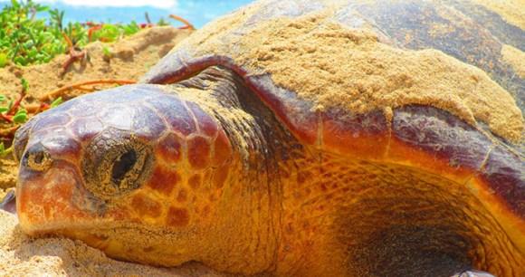 Turtle, Cape Verde, Project Biodiversity