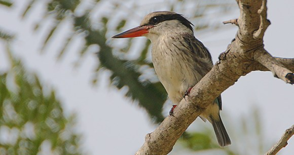 Striped kingfisher, Brufut Woods, The Gambia by Steve Garvie, Wikimedia Commons