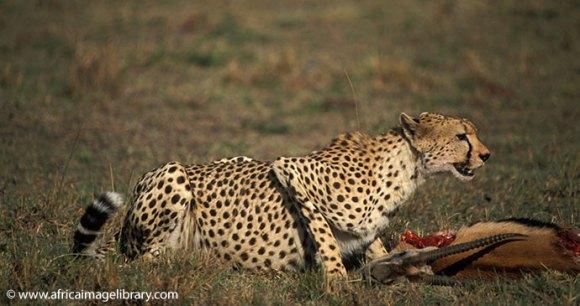 Cheetah Maasai Mara Kenya by Ariadne Van Zandbergen