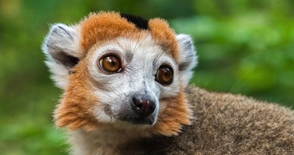 Crowned lemur, Madagascar © Natalia Paklina, Shutterstock