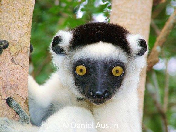 Verraux's sifaka Madagascar by Daniel Austin