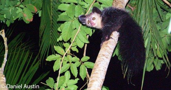 The aye-aye, Madagascar © Daniel Austin best places to see lemurs madagascar