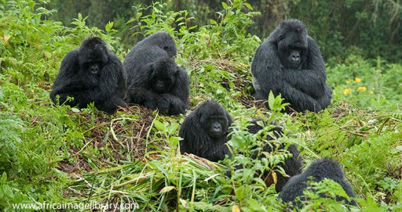 Mountain gorillas in Volcanoes National Park © Ariadne Van Zandbergen