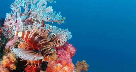 Lionfish, Seychelles, Africa by Seychelles Tourism Board